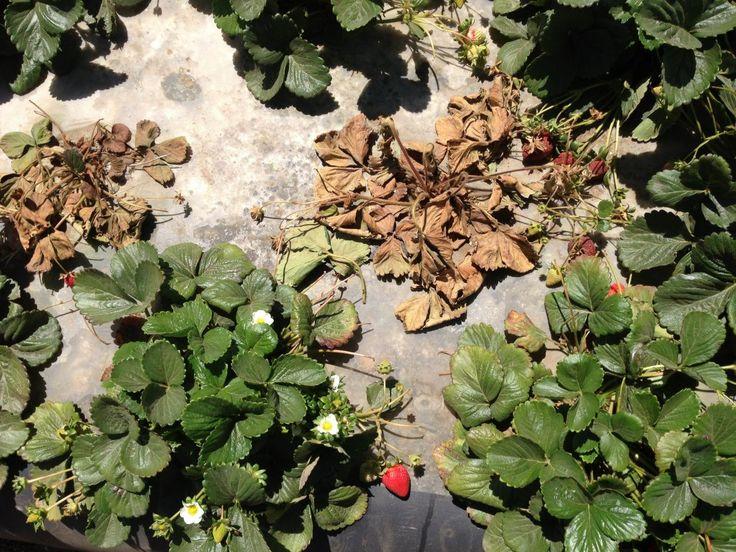 Погибшие растения клубники, пораженные земляничной нематодой.