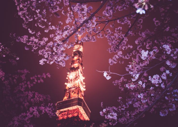 Cherry Blossoms And Tokyo Tower At Night | 三脚を忘れしまい使い慣れていないフラッシュを使ったので光量がマッチせず下手な合成写真のようになってしまいました。 F10くらいまで絞りたかったです。 ---------------------------------------------  4/7追記  Thank you for much comment and fav I am glad to attain 10,000 views which were the targets in the flicker.  I was very lucky this time.  沢山のコメントとfavありがとうございます。 一つの目標であった10,000views超えを達成できました。 多くの方に見ていただけて嬉しいです。 今回はとてもラッキーでした。