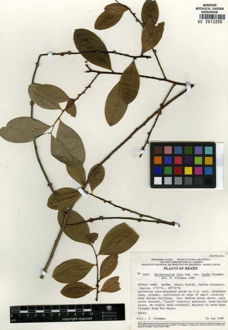 NameErythroxylum coca var. ipadu Plowman  SpecimenPlowman, Timothy Charles - 8055  Short Description  Long Description  Image KindHerbarium Specimen  Bar CodeMO-1063916