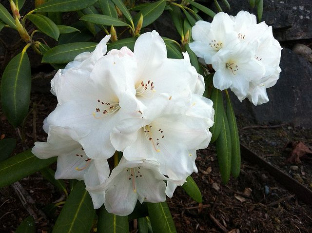 White Rhododendron / Weisse Rhododendren / Rododendro branco | Flickr - Photo Sharing!
