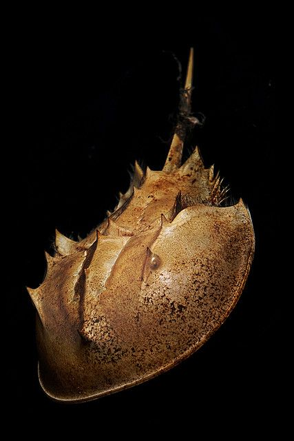 Horseshoe Crab by gregpphoto
