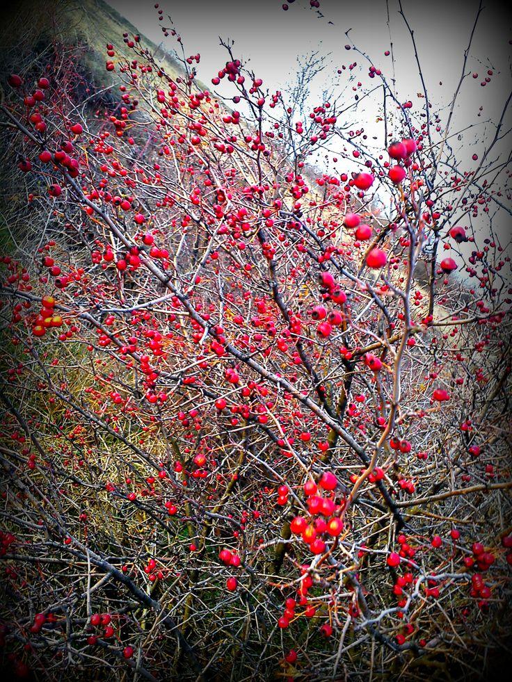 galagonya  http://www.herbariaangelika.blogspot.hu/