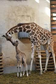 Afbeeldingsresultaat voor baby giraffes feeding