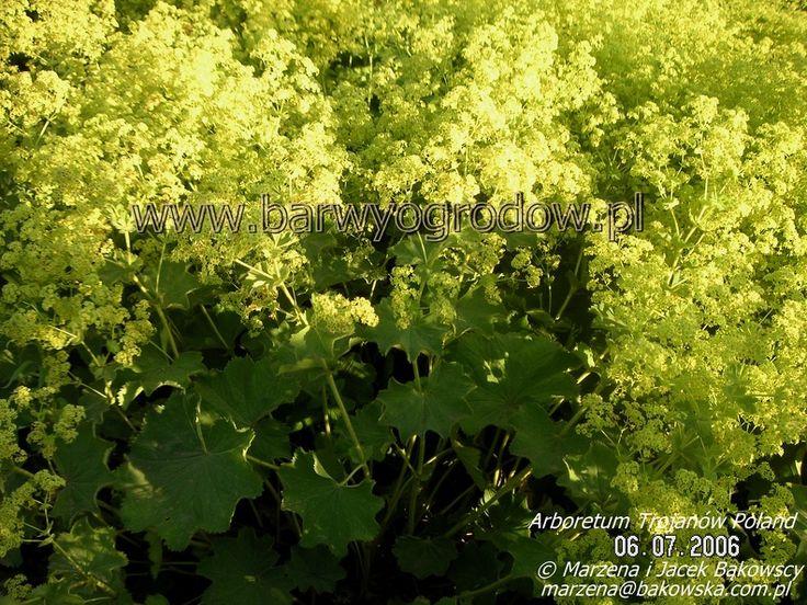 Arboretum Trojanów Poland Alchemilla mollis Przywrotnik ostroklapowy