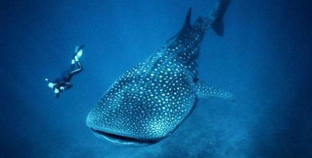 Fin de semana en Holbox... para nadar con el tiburón ballena. Acompáñanos a la Península de Yucatán y descubre bajo las aguas del mar Caribe, la espectacular silueta de este pez -el más grande del mundo-, en un fenómeno natural que cada año, tiene lugar durante el verano en el sureste mexicano.