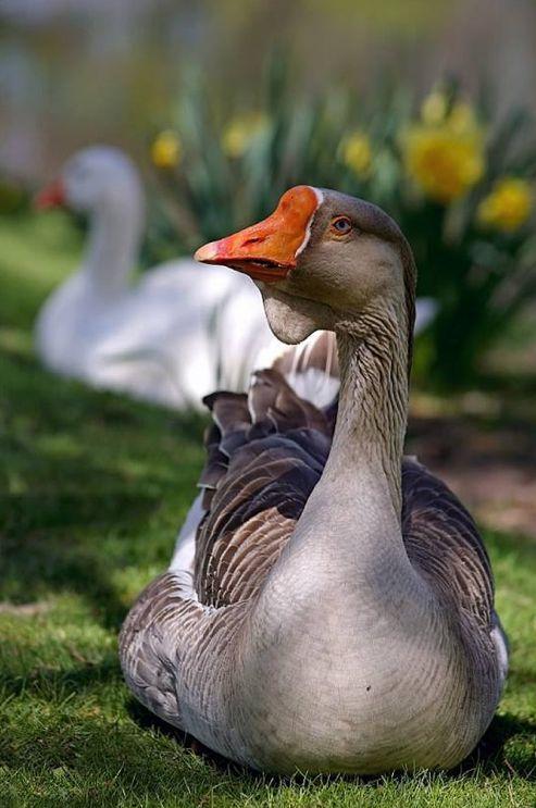 Greylag Goose (Anser cygnoides)