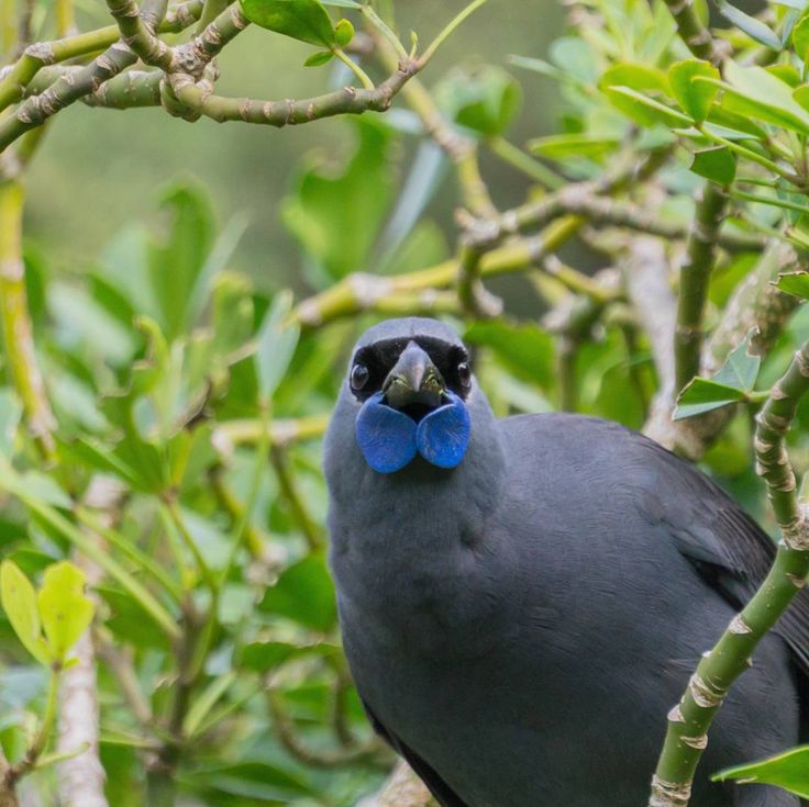 South Island Kokako Song