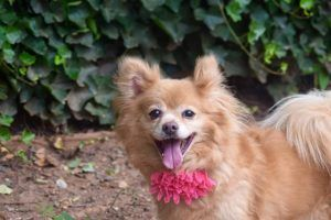 ORANGUTAN ADOPTED❤️❤️– A1120144 - SUPER URGENT STATEN ISLAND - SPAYED FEMALE, RED, POMERANIAN MIX, 9 yrs STRAY – STRAY WAIT, NO HOLD Reason STRAY Intake condition GERIATRIC Intake Date 07/28/2017, From NY 10301, DueOut Date 07/31/2017 Medical Behavior Evaluation GREEN Medical Summary Scan negative BARH AMBx4 Friendly,allowed handling Spayed~9yrs Dental dz. Nuclear sclerosis OU Presented limping, due to overgrown nails, clipped nails