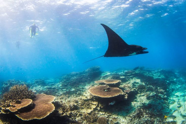 What it's really like swimming with monster manta rays of Lady Elliot Island in the Southern Great Barrier Reef http://blog.queensland.com/2014/09/26/swimming-with-monster-manta-rays/ #thisisqueensland