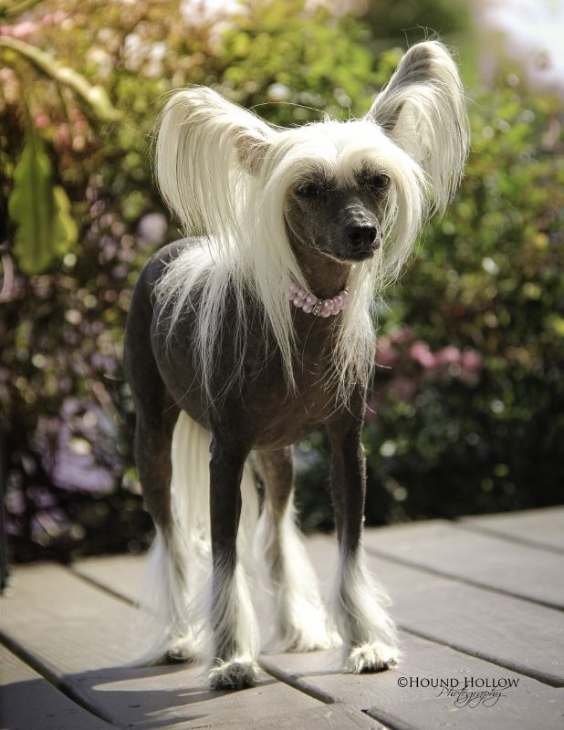 Chinese Crested Hairless | My little pony dogs ...