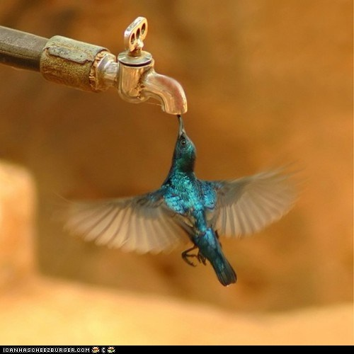 A hummingbird while trying to suck the last drop of water from