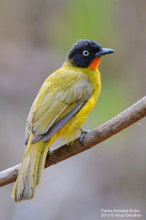 The Flame-throated Bulbul, (Pycnonotus gularis), is a member of the bulbul family of passerine birds. It is found in southwest India.  by Anup Deodhar