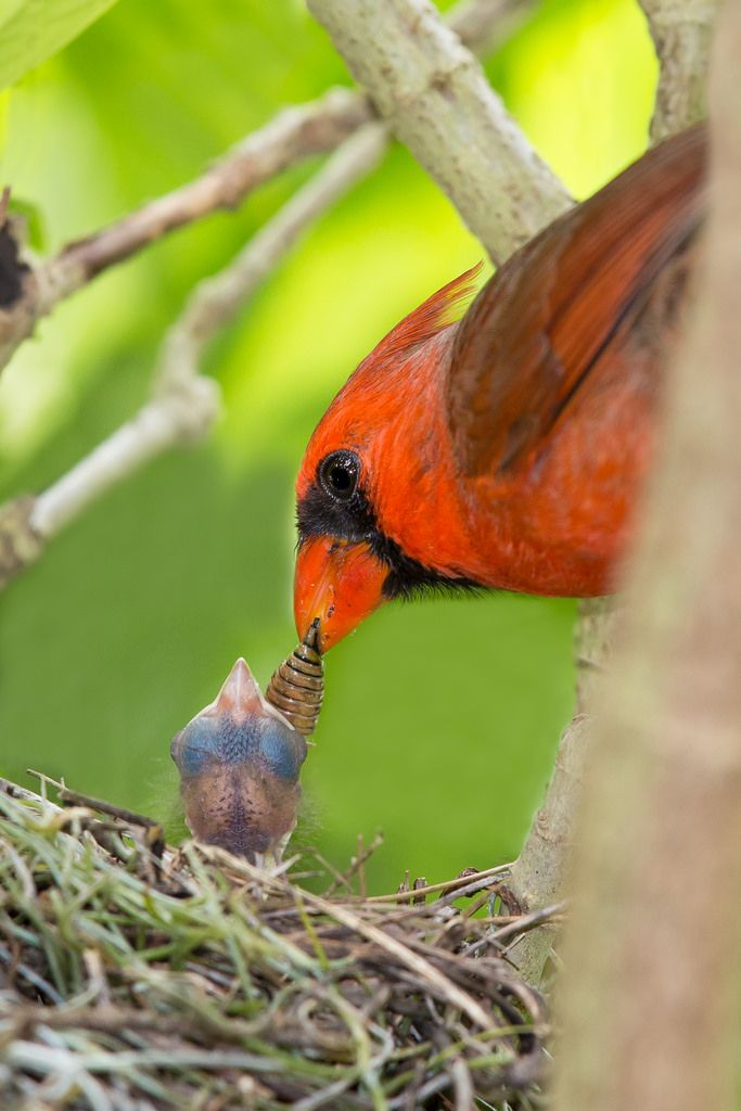 Dad brings a yummy meal for baby cardinal
