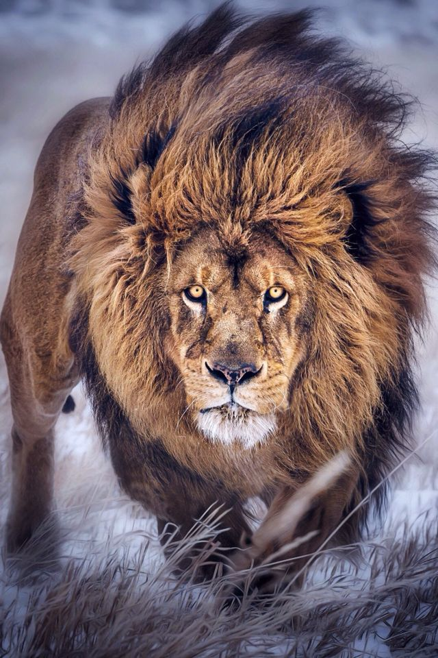My name Tawni the meaning, color of the Lion.