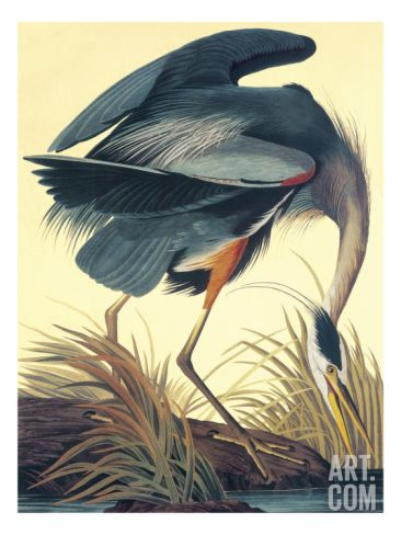 Great Blue Heron Art Print by John James Audubon at Art.co.uk