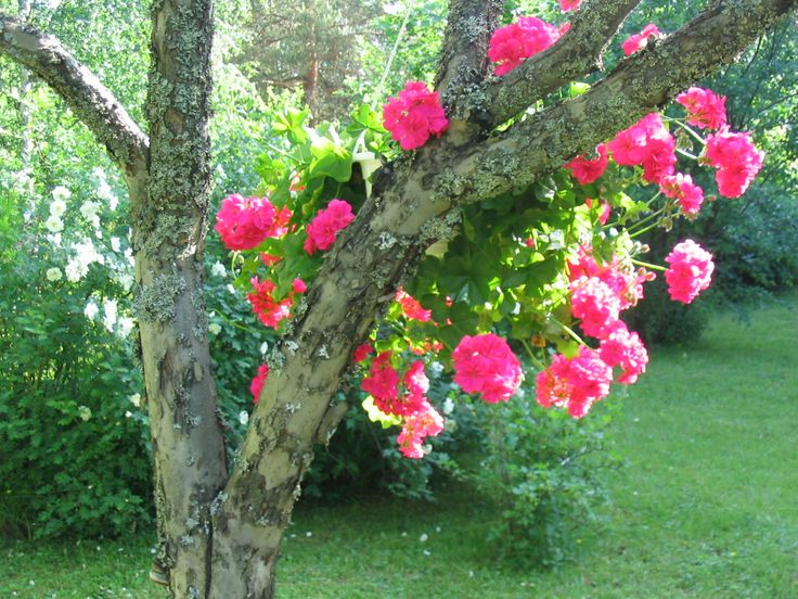 `granny geranium` :)