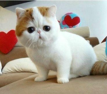 :): Cutest Kitty, Pet, Cute Cat, Kittens, Exotic Shorthair, Persian Cat, Eye, Cat Lady, Animal