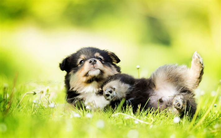 Scarica sfondi Finlandese Lappphund, simpatici animali, cucciolo, prato, lappphund, cani
