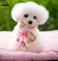 toy poodle haircuts - Google Search