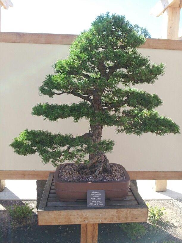 17 best images about bonsai on pinterest trees bonsai. Black Bedroom Furniture Sets. Home Design Ideas