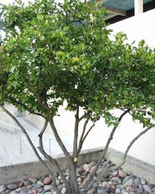 Non Native Evergreen Deciduous Shrub. Can Be Trained As Small Tree. Good  Hedge, Responds To Pruning. Needs Regular Water.