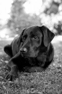 Retired guide dog Labrador by Melbourne Pet Photographers www.pupparazzi.com.au