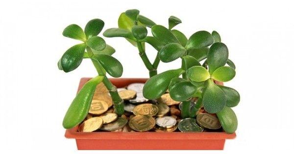 Толстянка — «Денежное Дерево»… Лечит или отравляет?! Это невероятно! На что способно всем известное комнатное растение! Это должны знать все!