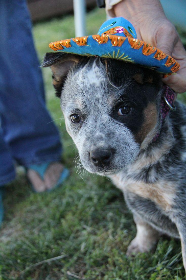 Northeast ohio blue heeler dogs puppies for sale ebay180 - Gidgit Acd 9 Weeks Old