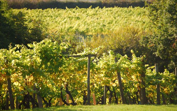 Picture of Chapel Down Vineyard from article by Victoria Moore of the Telegraph on English Wine. (June 2012)
