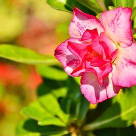 Piante grasse: la Rosa del deserto | Donna Moderna
