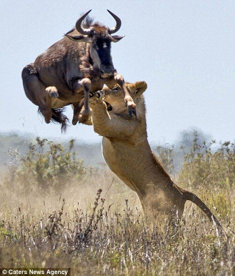 Tables are turned: The lioness attempts to grab the buffalo in mid-air but gets a hoof to the face for her pains