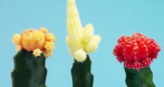 injertos de cactus