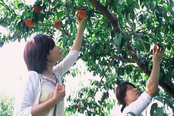 hái và thưởng thức trái cây ngay tại Azuma
