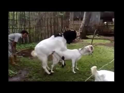 Sheep And Goat Mating Full Love