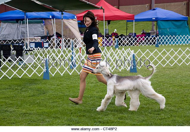 Woman showing an Afghan hound at an AKC dog show - Stock Image