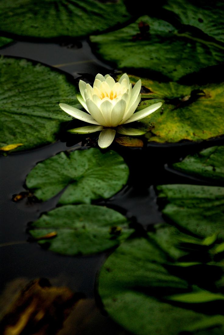 Marsha A. Moore: 'L' is for the Lotus flower, its purity ...