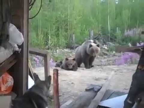 Собака и медведи