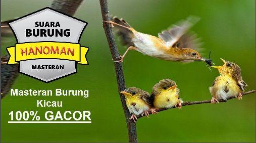 Masteran Burung Kicau, Coba Pancing Dengan SUARA BURUNG