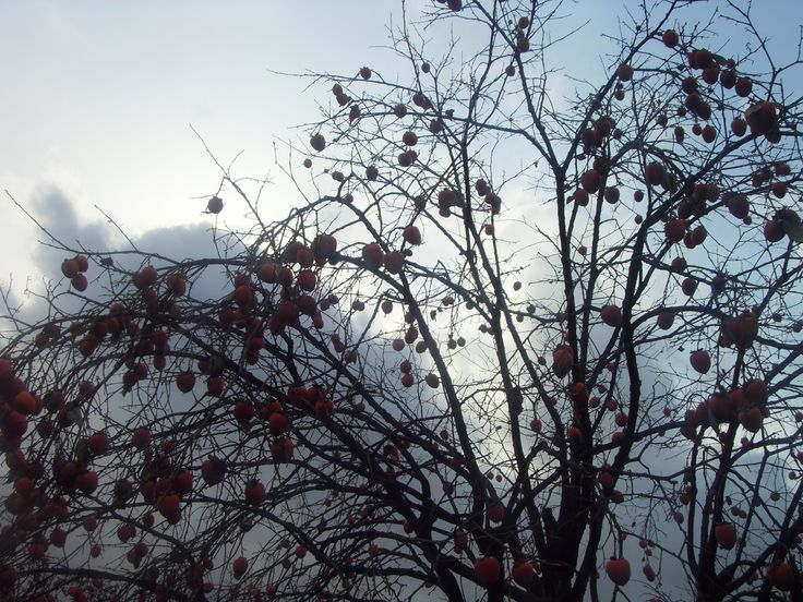 Persimmon tree in the garden after snow