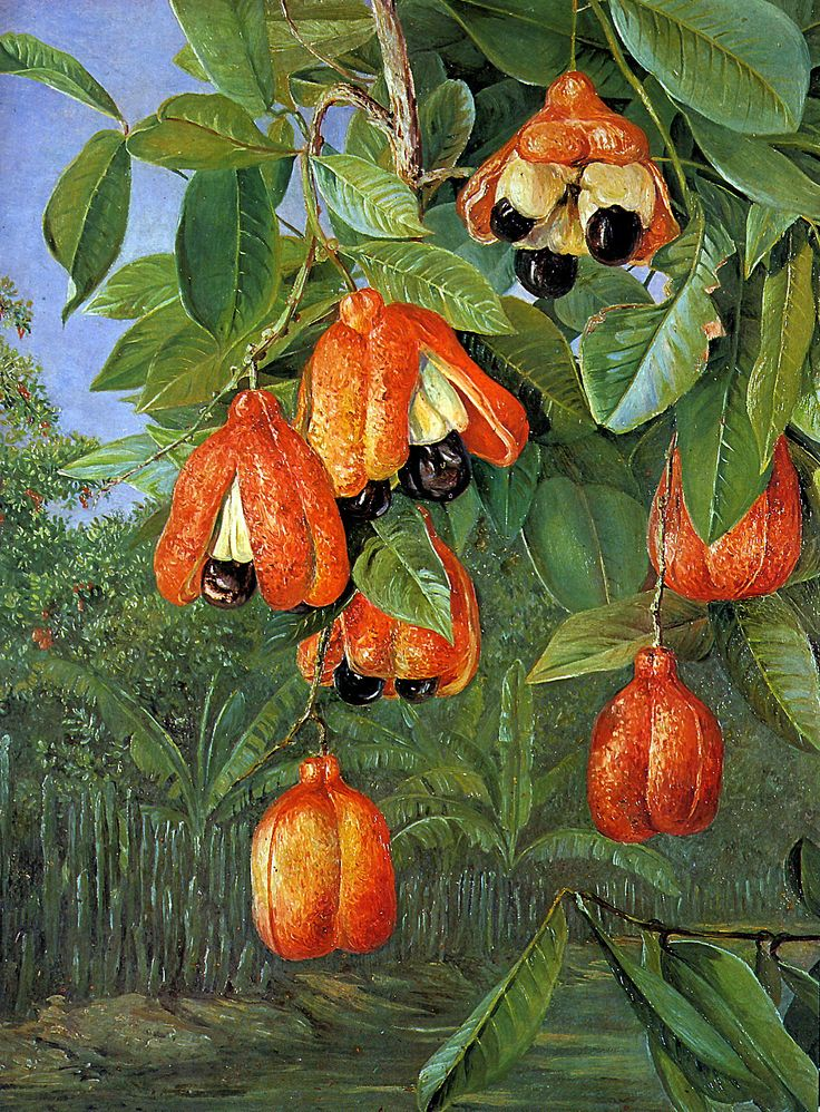 The Ackee tree, Blighia sapida , is a tree of contradictions. In Jamaica, the Ackee tree is revered - more popular than Bob Marley. The ...