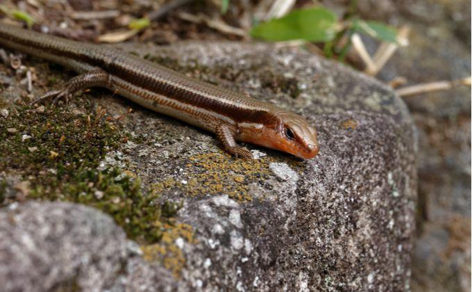 ニホントカゲの生態と特徴 飼育方法を紹介 飼育難易度やカナヘビとの見分け方は Woriver ニホントカゲ トカゲ カナヘビ