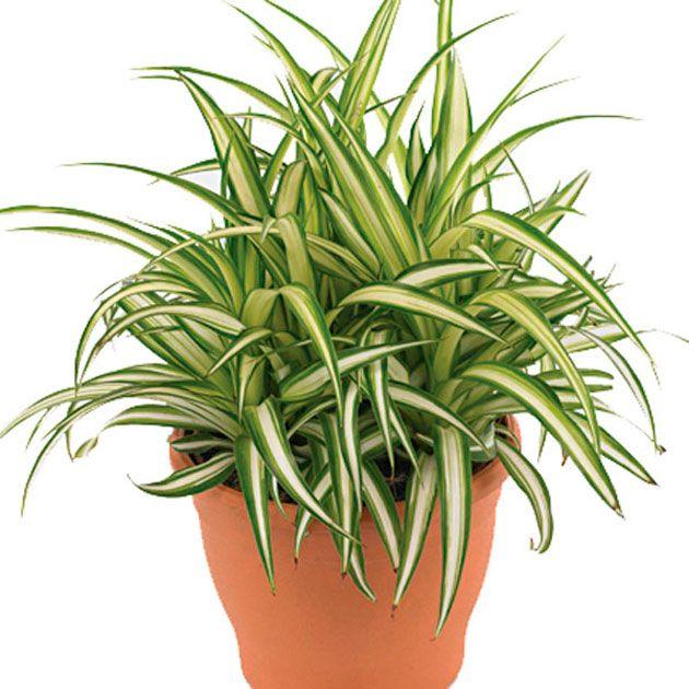 Plantas que purificam o ar. O Clorofito precisa de muita luz e de pouca exposição ao sol (no inverno). Regue diariamente no verão, mas modere nos dias frios.01-clorofito