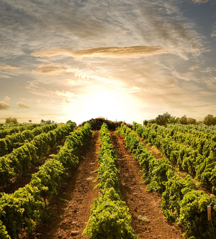 Sardinia has an ancient winemaking tradition, which combined with the proximity to the sea and the mild climate, give this wine unique.... http://www.en.luxuryholidaysinsardinia.com/Blog/dettaglio/in-santa-margheria-of-pula-you-can  #wine   #sardinia   #grapes   #sunset   #holiday   #travel   #villa