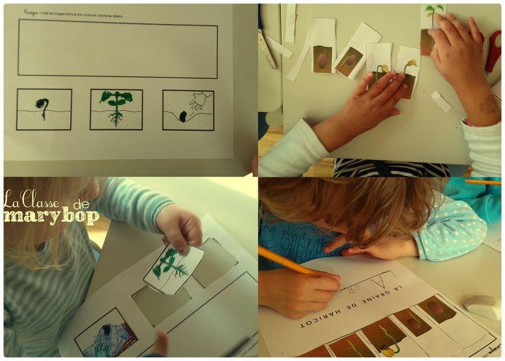 Germination de la graine de haricot - Maternelle La Classe de Marybop -