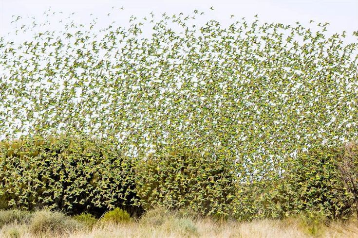 Thousands of wild budgies flocking near a waterhole not far from Alice Springs in November 2012..