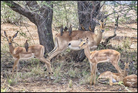 Impala & Red Billed Oxpeckers