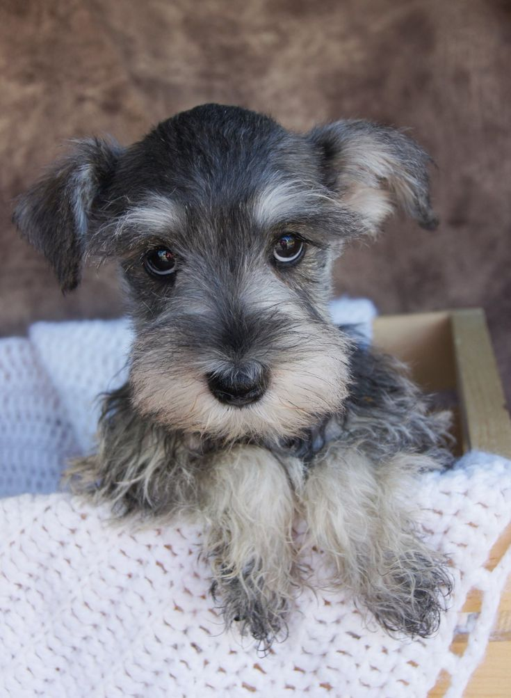Salt amd Pepper Miniature Schnauzer Puppies for sale