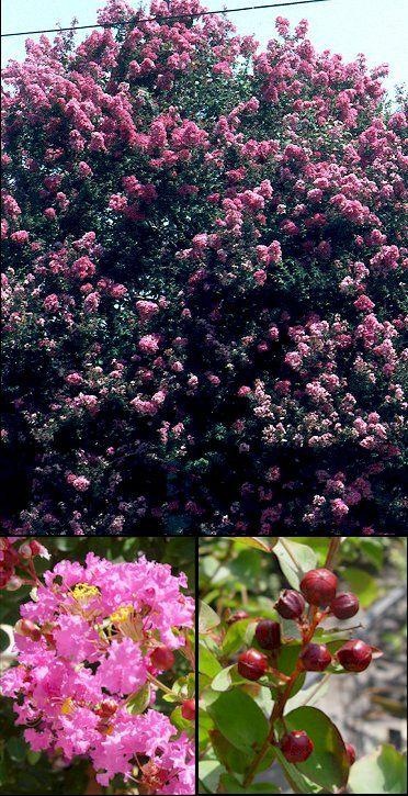 Aspecto general y detalle de flores y frutos Lagastroemia indica,árbol de Jupiter