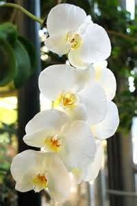 White Orchid in Iris Petals