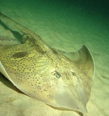 17 best images about fish in south african waters on for Skate fish facts